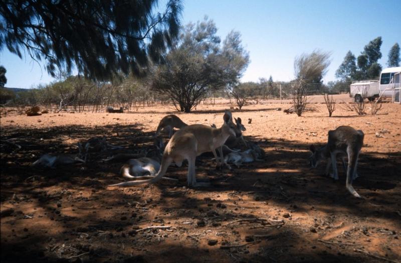 Kangaroos Seeking Shade, Red Centre